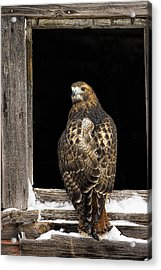 Red Tailed Acrylic Print