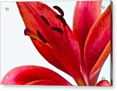 Red Tiger Lily Acrylic Print