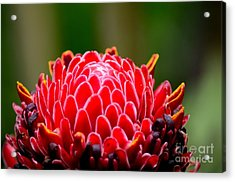 Red Torch Ginger Flower Head From Tropics Singapore Acrylic Print by Imran Ahmed