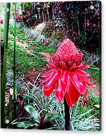 Red Torch Ginger Flower Two Acrylic Print by Tina M Wenger