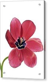 Red Transparent Tulip Acrylic Print