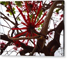 Red Tree Spiders  Acrylic Print