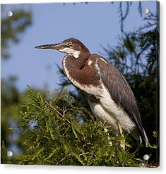 Acrylic Print featuring the photograph Red Tricolor Heron II by Kathy Ponce