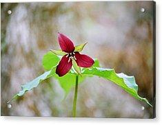 Red Trillium Acrylic Print by David Porteus
