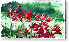 Red Trumpets Acrylic Print