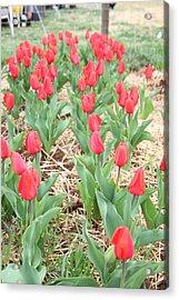 Red Tulip - 01136 Acrylic Print