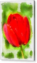 Red Tulip Aquarell Acrylic Print by Matthias Hauser