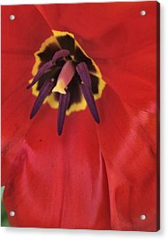 Red Tulip Detail Acrylic Print