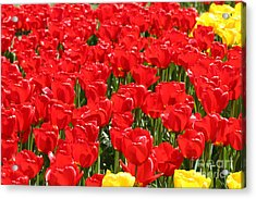 Red Tulip Field Acrylic Print by Tap On Photo