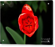 Red Tulip  Acrylic Print by Jay Nodianos