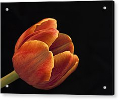 Acrylic Print featuring the photograph Red Tulip by Kim Andelkovic