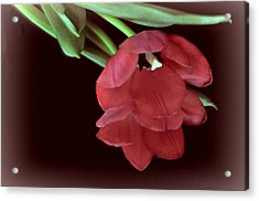 Red Tulip On Burgundy Acrylic Print