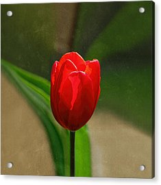 Red Tulip Spring Flower Acrylic Print