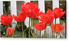 Acrylic Print featuring the photograph Red Tulips At Fence by Christina Verdgeline