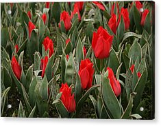 Red Tulips II Acrylic Print by Maeve O Connell