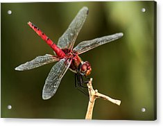 Red-veined Darter  - My Joystick Acrylic Print