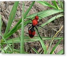 Red Velvet Ant Acrylic Print