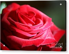 Red Velvet Rose By Morning Light  Acrylic Print