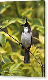 Red Whiskered Bulbul Acrylic Print by Alex Sukonkin