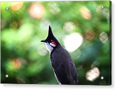 Red Whiskered Bulbul Acrylic Print by Kunal Ghate