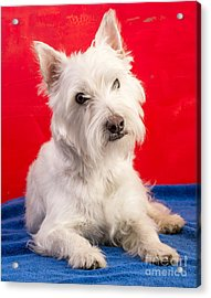Red White And Blue Westie Acrylic Print by Edward Fielding
