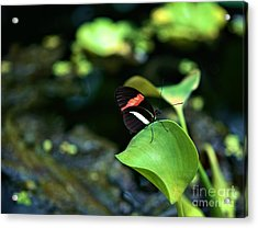 Red White Black Butterfly Acrylic Print