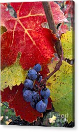 Red Wine Grapes And Leaves In Fall  Acrylic Print by Gary Crabbe