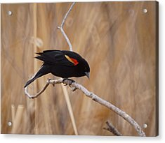Red Winged Blackbird 1 Acrylic Print by Ernie Echols