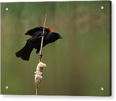 Red Winged Blackbird 3 Acrylic Print by Ernie Echols