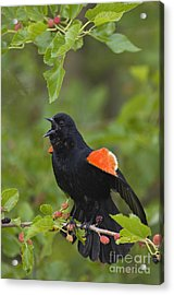 Red-winged Blackbird - D008481 Acrylic Print by Daniel Dempster