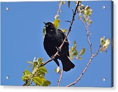Red Winged Blackbird Acrylic Print by Kathy King