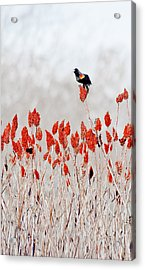 Red Winged Blackbird On Sumac Acrylic Print