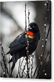 Acrylic Print featuring the photograph Red Winged Blackbird In Pussy Willows by Patti Deters