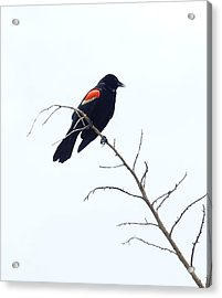 Red-winged Blackbird Acrylic Print by Paul  Wilford