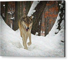 Acrylic Print featuring the digital art Red Wolf On A Winter Hunt by Lianne Schneider