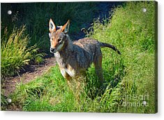 Red Wolf Pup Acrylic Print