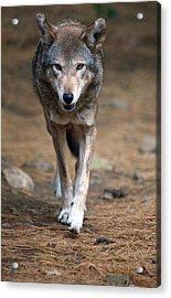 Red Wolf Strut Acrylic Print by Karol Livote