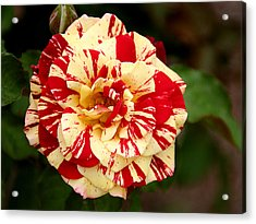Red Yellow Rose Acrylic Print by Christine Till