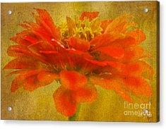 Red Zinnia Essence Acrylic Print