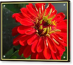 Acrylic Print featuring the photograph Red Zinnia With Yellow by Heidi Manly
