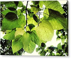 Catalpa Branch Acrylic Print