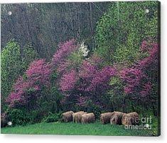 Redbud - Fm000095 Acrylic Print by Daniel Dempster