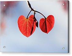 Redbud Illumined Acrylic Print by Scott Rackers