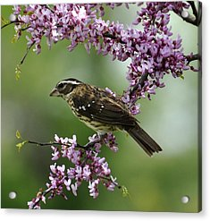 Redbud With Grosbeak Acrylic Print