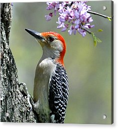 Redbud With Woodpecker Acrylic Print
