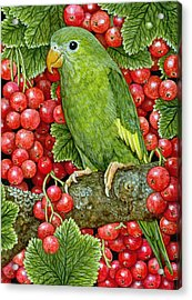 Redcurrant Parakeet Acrylic Print by Ditz