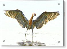 Acrylic Print featuring the digital art Reddish Egret 2 by William Horden