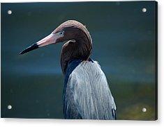 Reddish Egret 3 Acrylic Print