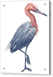 Reddish Egret Acrylic Print by Anonymous