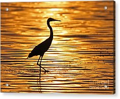 Reddish Egret At Sunset Acrylic Print